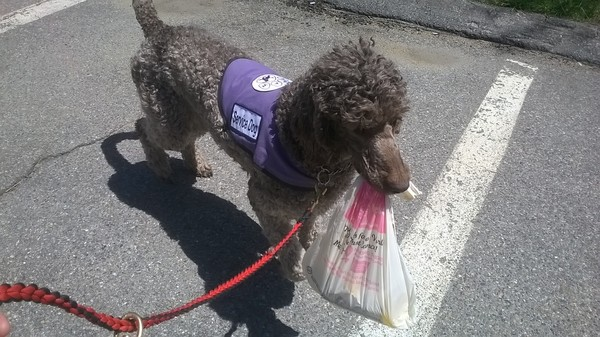 Gray poodle in purple vest carrying a shopping bag